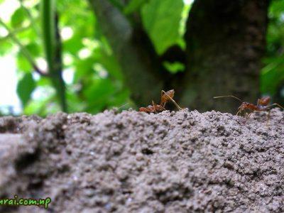 Couple Ants Tumlingtar Nepal