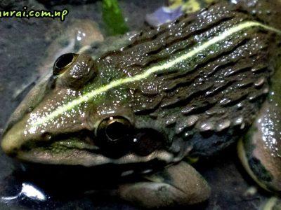 Frog Bhaktapuer Nepal